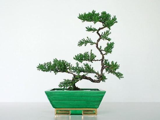Lily Lodge Bonsai Tree